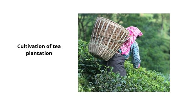 Cultivation of tea plantation