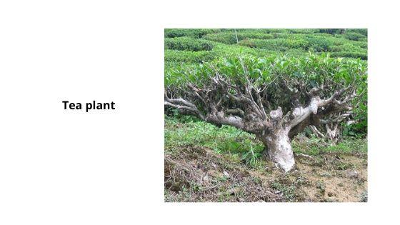 Tea plant munnar