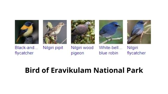 birds in eravikulam national park munnar