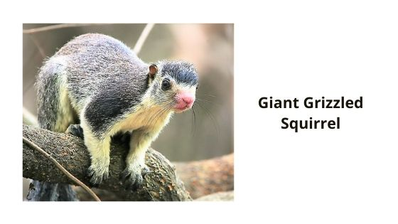 Giant grizzled squirrel in chinnar wildlfe sanctuary