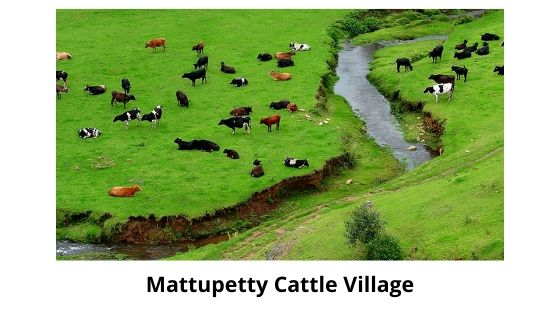 cattle village near mattupetty dam munnar kerala