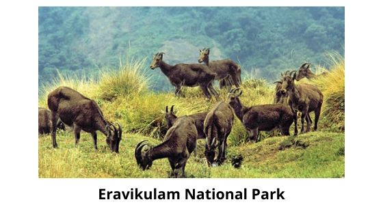 eravikulam national park is one of the top priorities of the people in the list of thing to do in Munnar