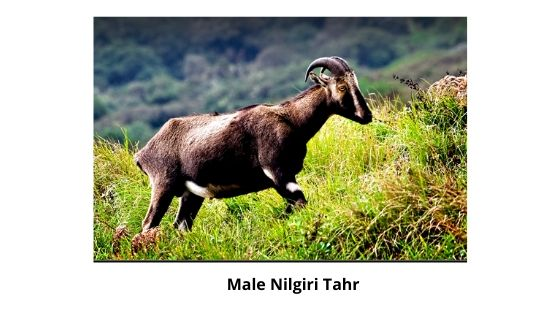 Male Nilgiri Tahr munnar kerala india